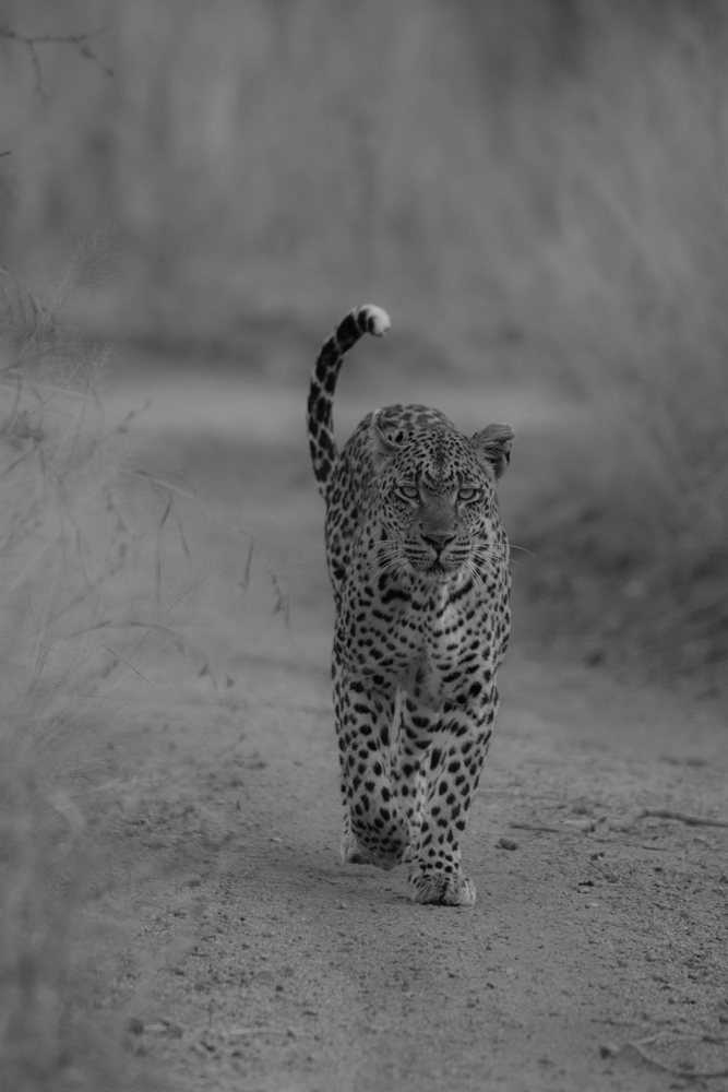 Raising her tail to indicate that she acknowledges the barking of the nearby impala herd, the Tamboti female abandons her morning hunt