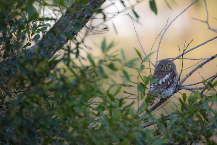 Being predominantly nocturnal, owls are difficult to spot during the heat of the day, often seeking refuge in the dark shadows provided by riverine thickets. We were lucky one afternoon to photograph an African Barred Owlet in broad daylight.