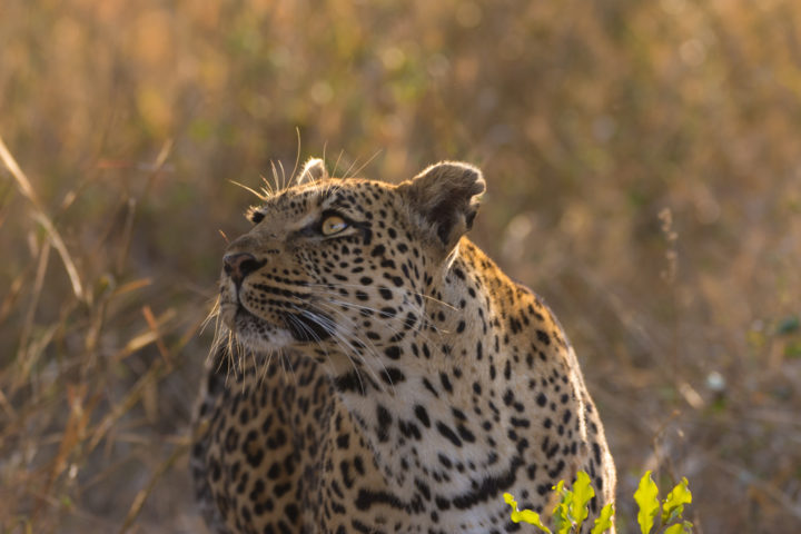 The Tamboti female glances up at her freshly hoisted impala kill which she later returned to feed on, well out of reach of the pestering hyenas below.