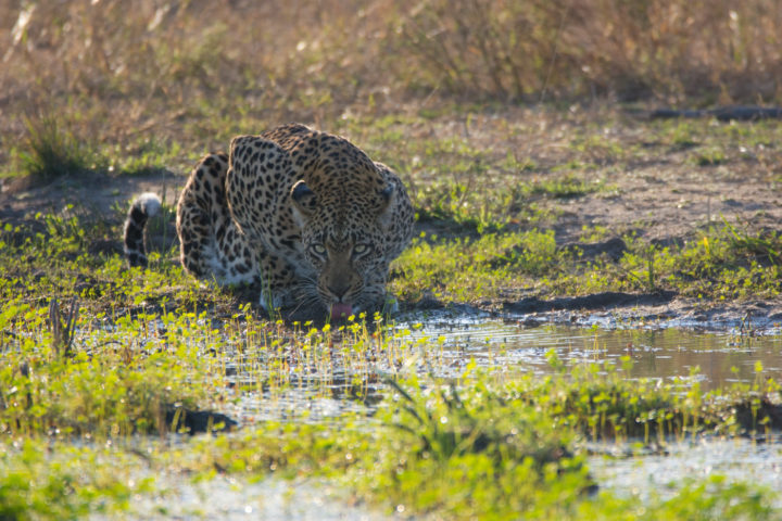 Knowledge of the area, and an anticipation of animal movements are crucial. Tracker Euce Madonsels determined that the Tamboti female would approach a nearby pan to drink, allowing us the opportunity to position ourselves to capture a set of striking images.