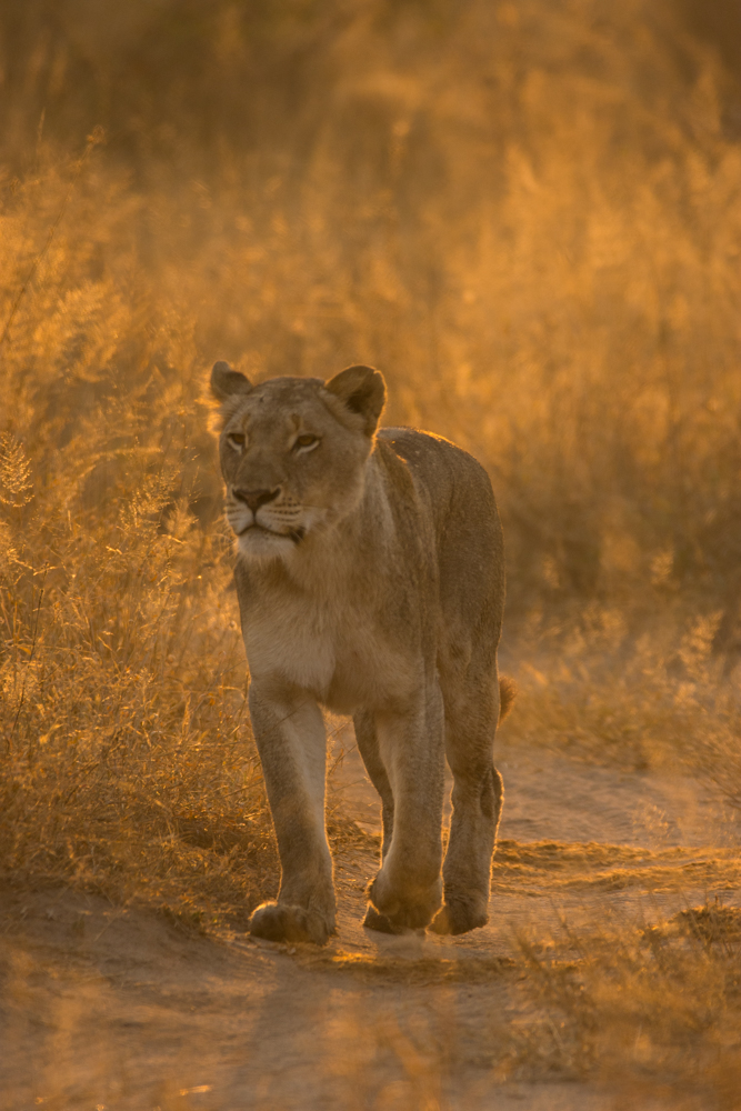The younger tailed female of the Tsalala Breakaways returns to join the rest of the pride. The key to an image like this is to ensure that you capture the magical light available to you at the time. In this case, nature does the majority of the work, providing the perfect conditions under which to photograph a magnificent subject.