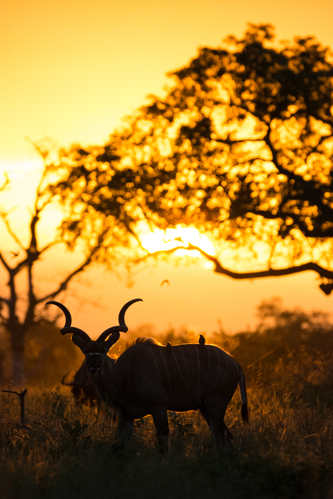 A large kudu bull silhouetted by an amazing afternoon sunset. By underexposing, increasing your F-stop number, and lowering your ISO level, one can achieve spectacular sunset silhouette shots in conditions which are otherwise difficult to photograph.