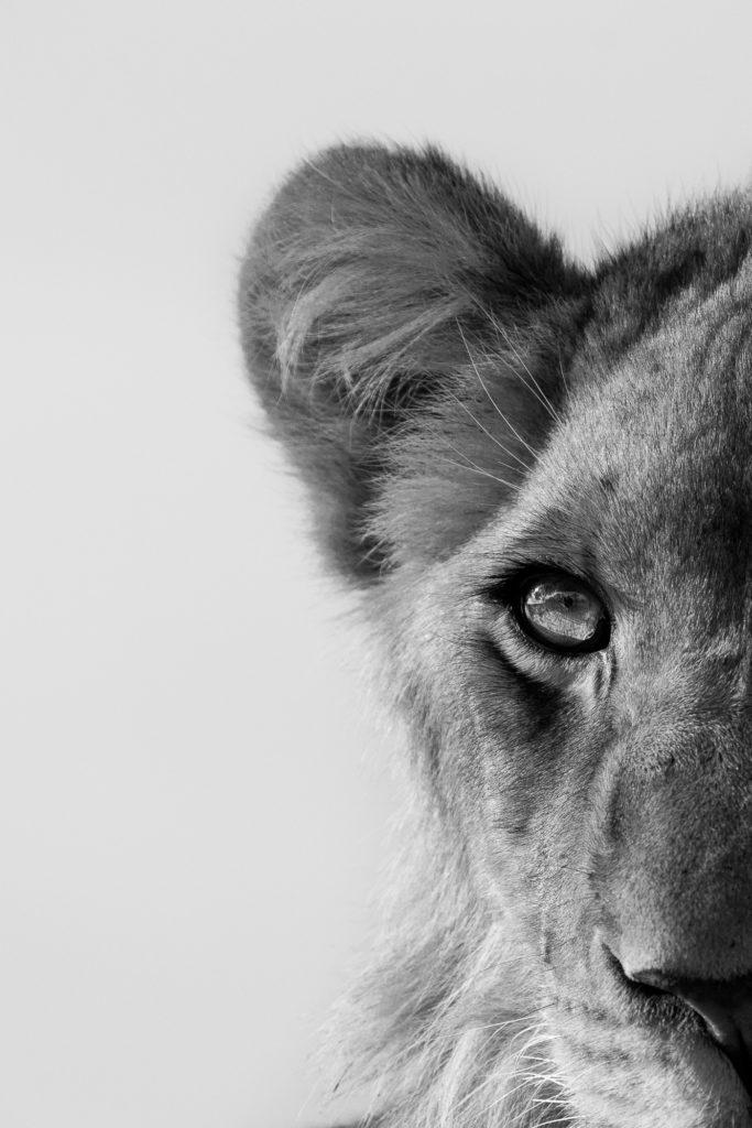 tsalala, lion