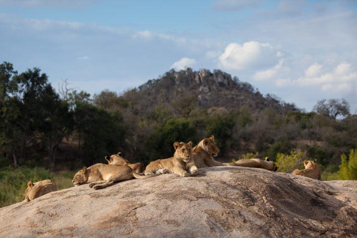 tsalala, lions, plaque rock