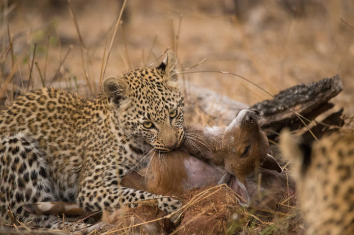 nkoveni leopard cubs AS
