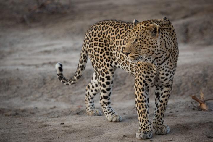 [Image: Piva-male-leopard-scars-gold-JT-720x480.jpg]