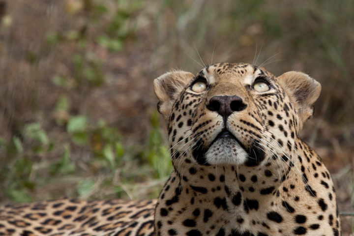 Leopard-look-up-AA