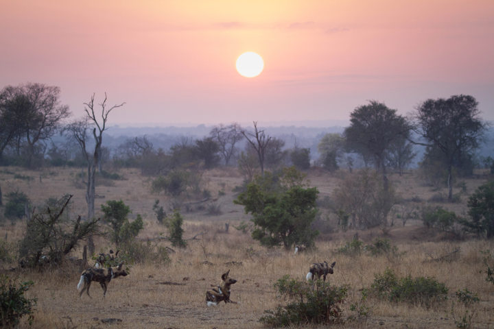 Londolozi, Kruger National Park, Wild dogs, Andrea Campbell, Wild Dogs Resting