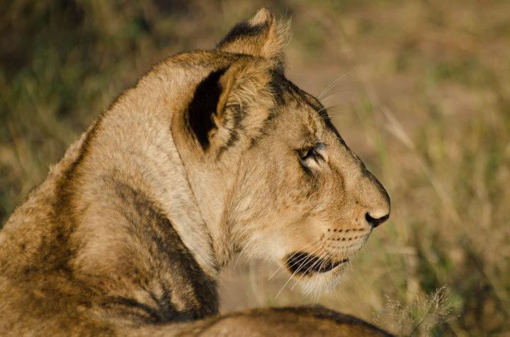 tsalala, lions