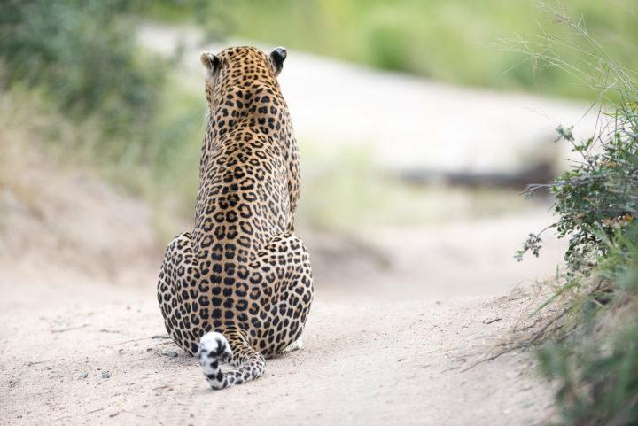 Piva male leopard, Irene Nathanson