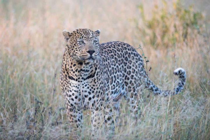 Piva male leopard, guest