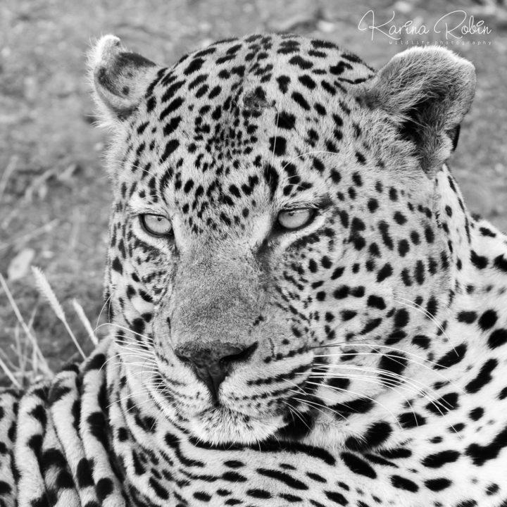 Piva male leopard, Karina Robin