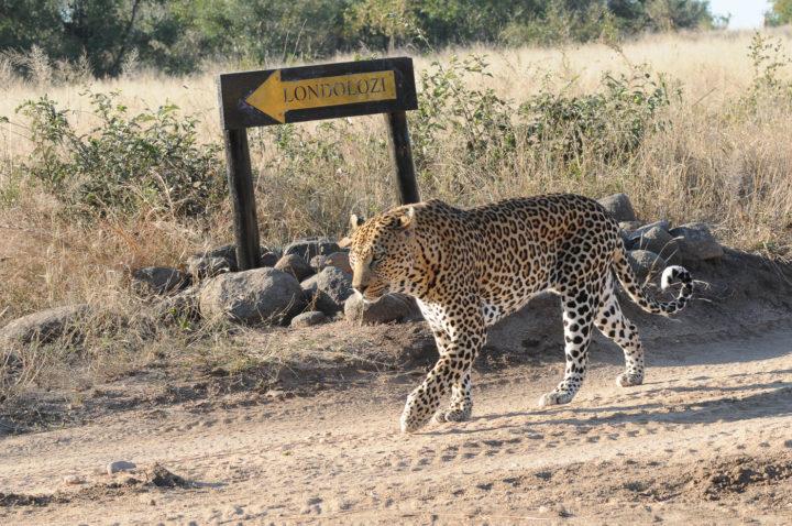Piva male leopard, Yves Christen