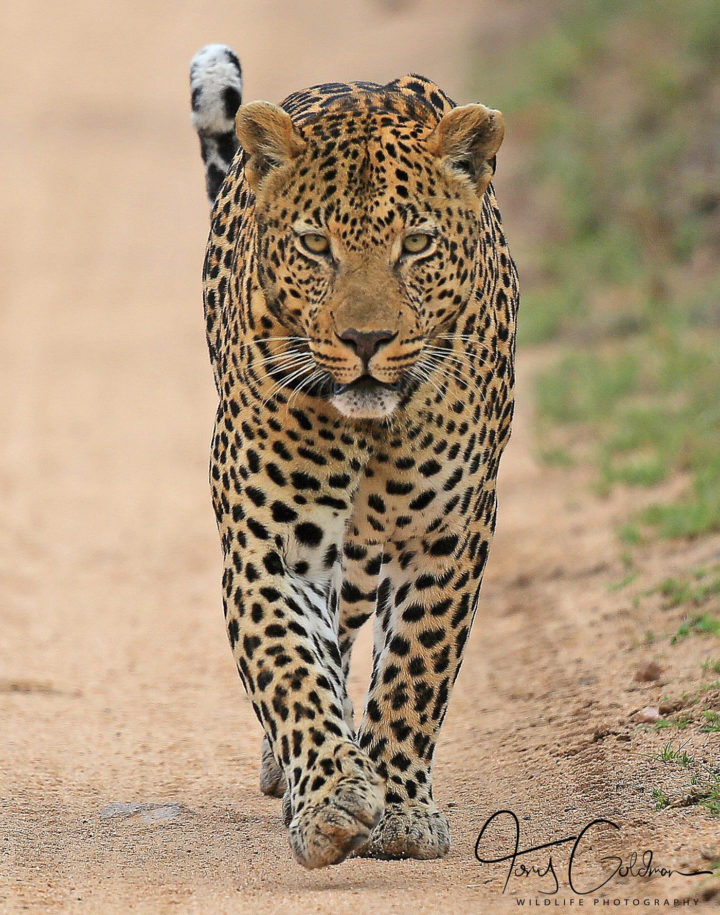 Piva male leopard, Tony Goldman