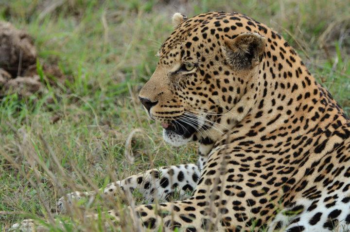 Piva male leopard, Rosanne Zapp