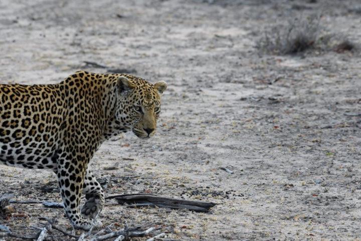 Piva male leopard, Filipe Edstrom