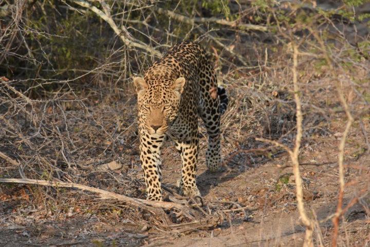 Piva male leopard, Felipe Edstrom