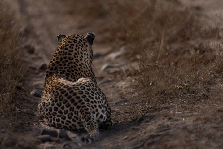 Piva male leopard, Gabriel Clarke