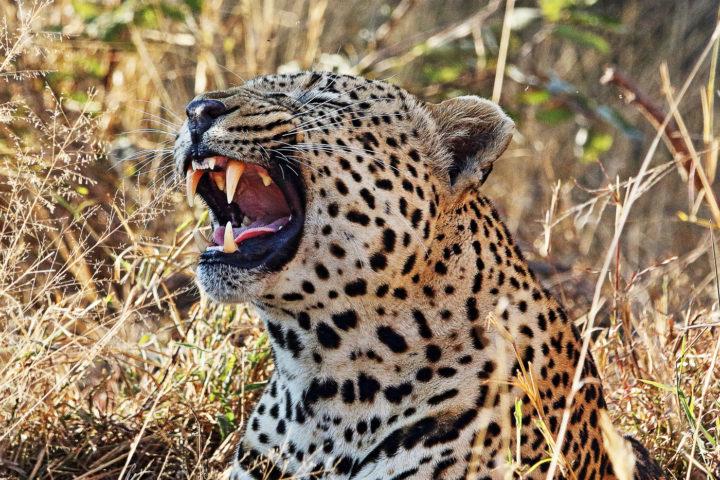 Piva male leopard, Robert Walder