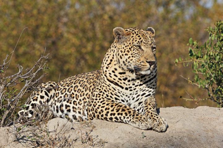 Piva male leopard