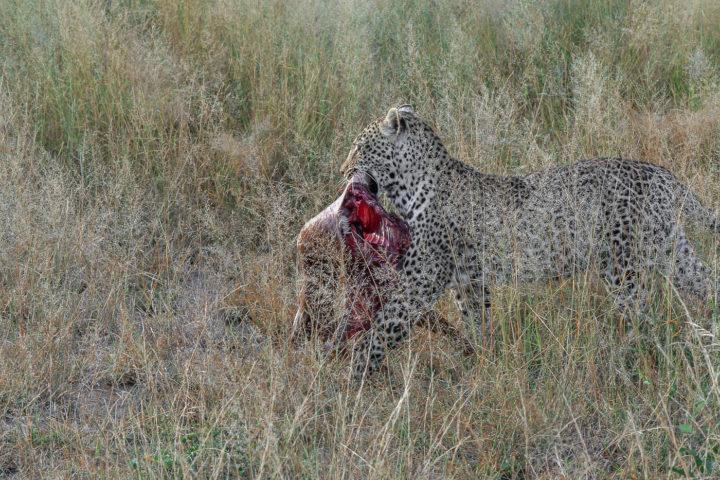 nanga, female leopard, Irene Nathanson