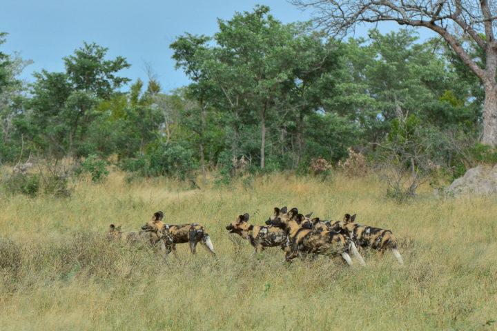 wild dogs, Irene Nathanson,