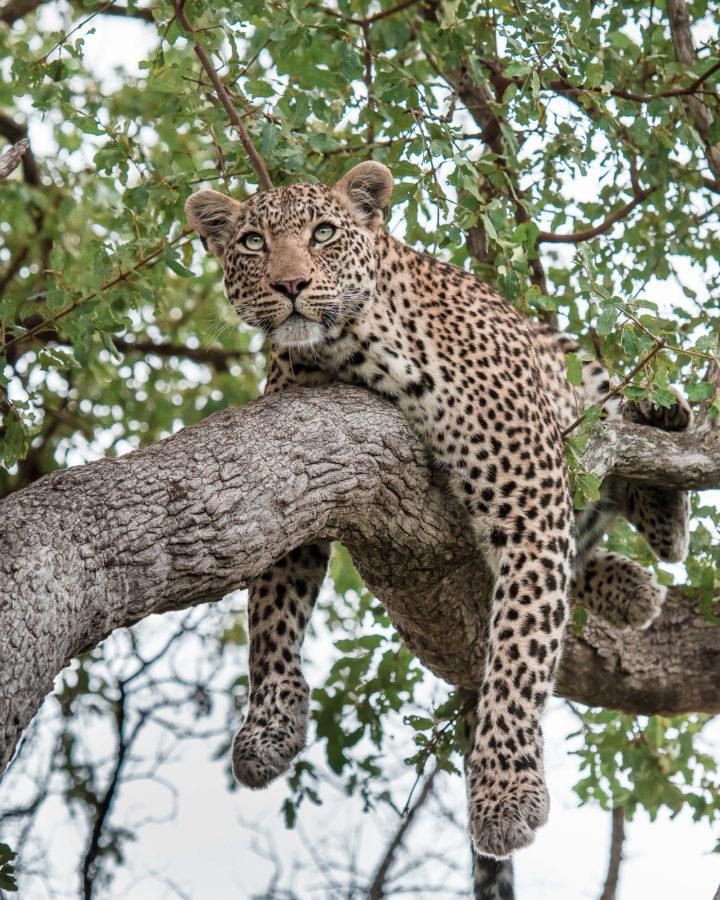 Nanga leopard, cub, Irene Nathanson