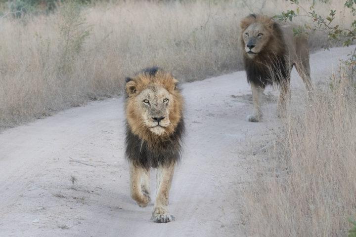 Londolozi, KNP, Fin Lawlor, lions