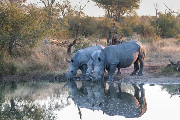 Londolozi, Fin Lawlor, KNP, rhino