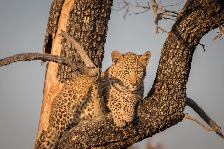 Londolozi, KNP, Fin Lawlor, leopard cub