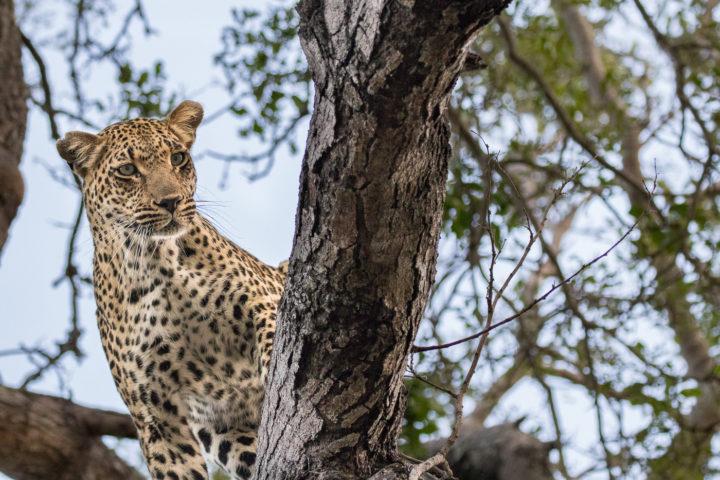 Londolozi, KNP, Fin Lawlor, leopard