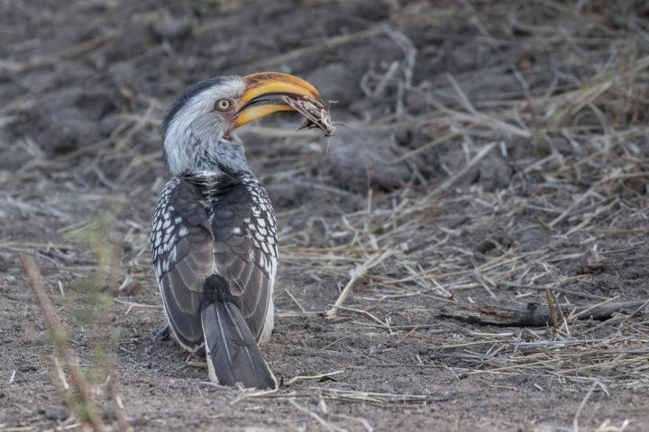 Londolozi, KNP, Fin Lawlor, yellow billed hornbill