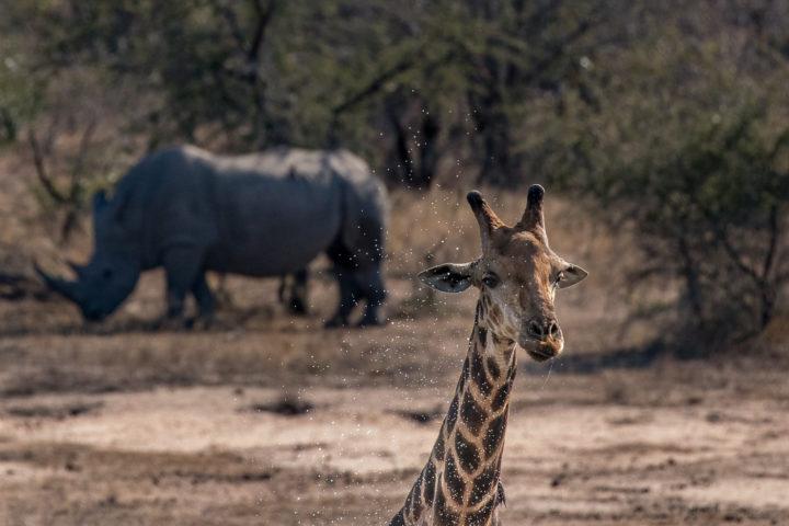 Londolozi, KNP, Fin Lawlor, giraffe, rhino