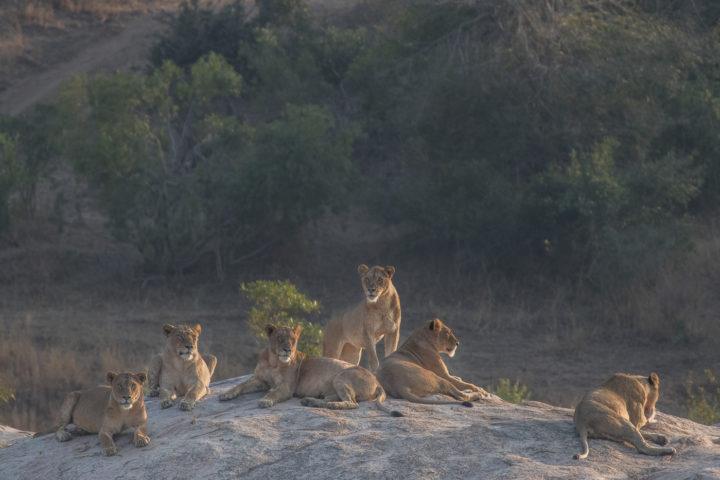 Londolozi, Kruger National Park, Fin Lawlor, lions
