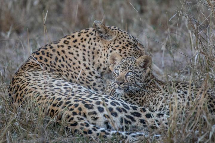 Londolozi, Kruger National Park, Fin Lawlor, leopard