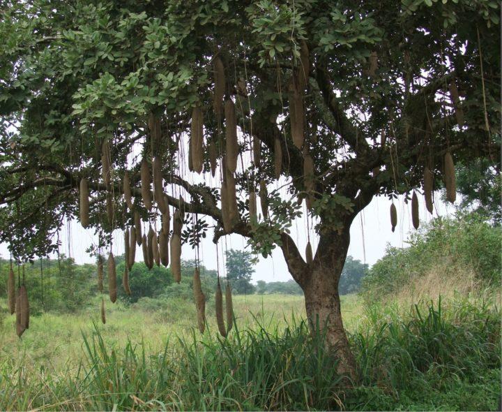 sausage tree, kigelia africana