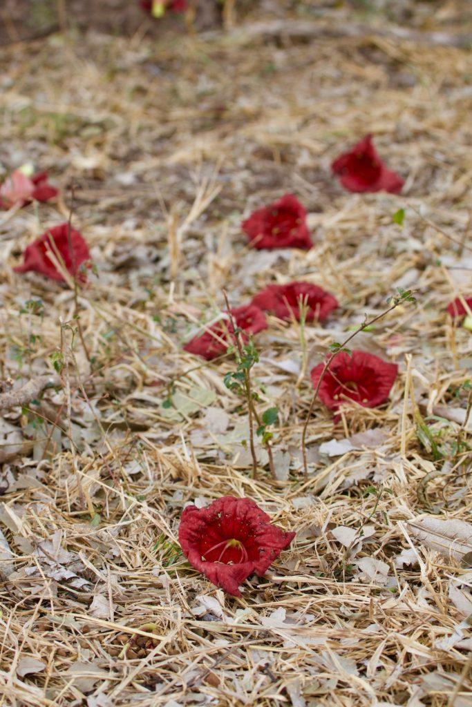 sausage tree, flowers, ground, red
