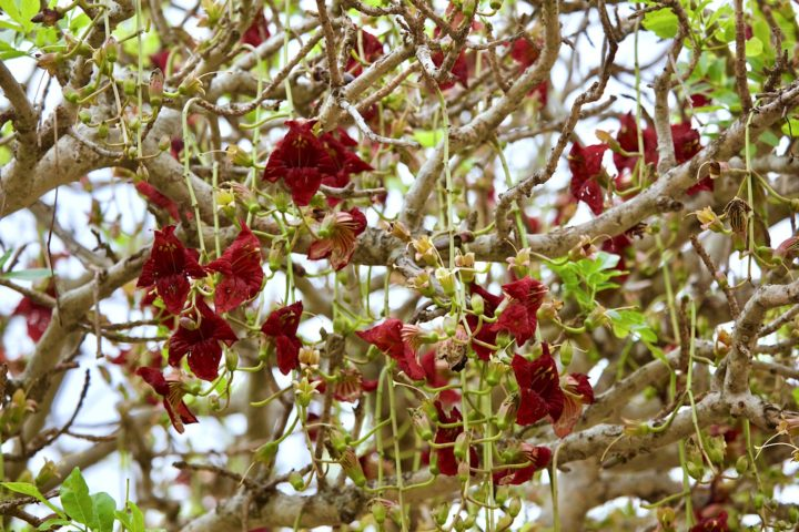 sausage tree, kigelia africana, flowers, red