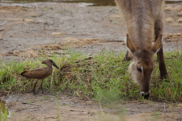 waterbuck, hamerkop, feeding, symbiosis