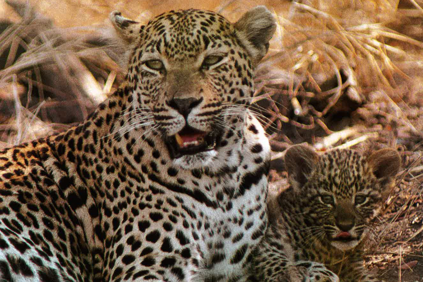 The Original Mother Leopard End Of A Lineage Londolozi Blog