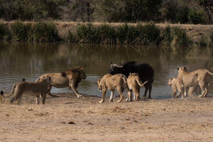 buffalo, lion, ntsevu, majingilane, Londolozi, Kruger Park, GR