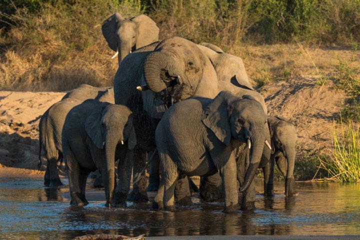 elephant, river, crossing, drink, londolozi, kruger park, GR