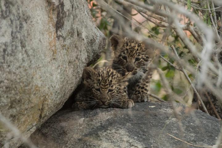 mashaba, cub, den, leopard, cute, londolozi, kruger park, GR