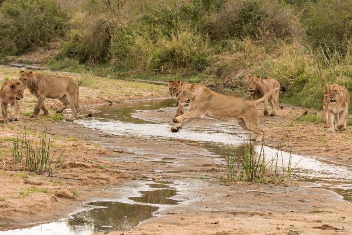 Mhangeni, lion, lioness, river, londolozi, kruger park, GR
