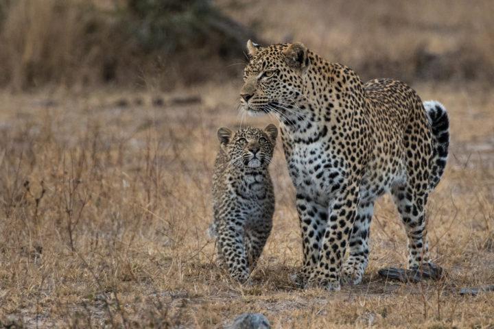 nkoveni, leopard, cub, londolozi, kruger park, GR