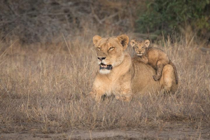 cub, lion, lioness, ntsevu, londolozi, kruger park, GR
