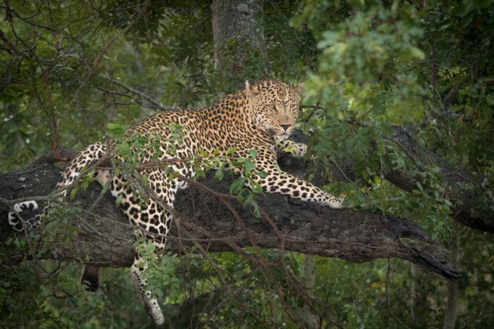 piva, leopard, jackalberry, londolozi, kruger park, GR