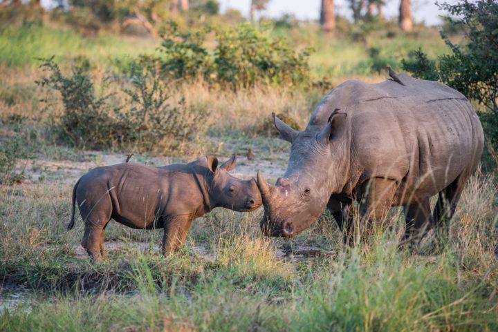 rhino, calf, londolozi, kruger park, GR