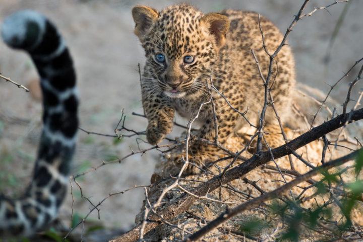 cub, tail, leopard, tamboti, londolozi, kruger park, GR