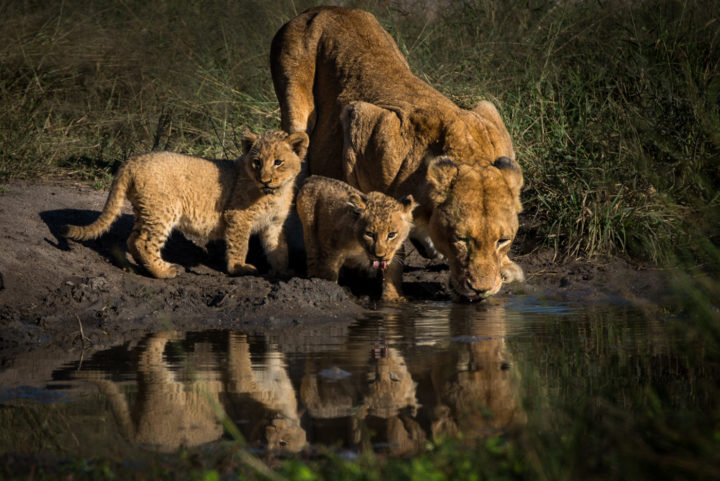 lion, drink, tailless, cub, GR